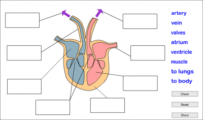 Parts of the heart parts of the heart parts of the heart luisbu4 ccuart Image collections